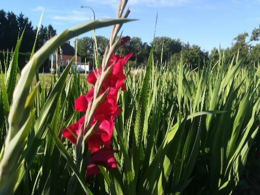 début de floraison glaieul